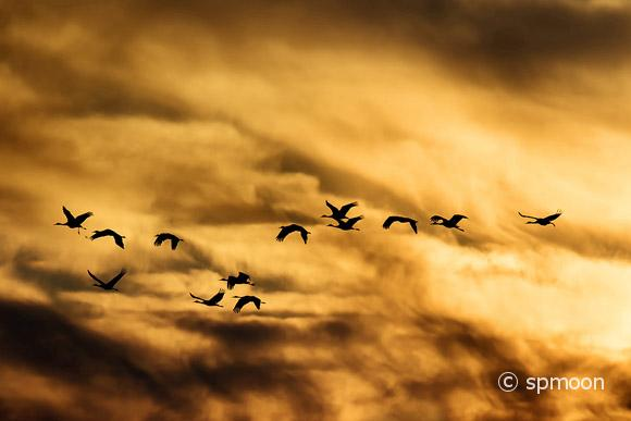 Sandhill Cranes flying in golden sunset, Bernardo Wildlife Area near Socorro, New Mexico