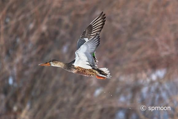Female Northern Shoveler in flight, Bosque Del Apache National Wildlife Refuge, New Mexico