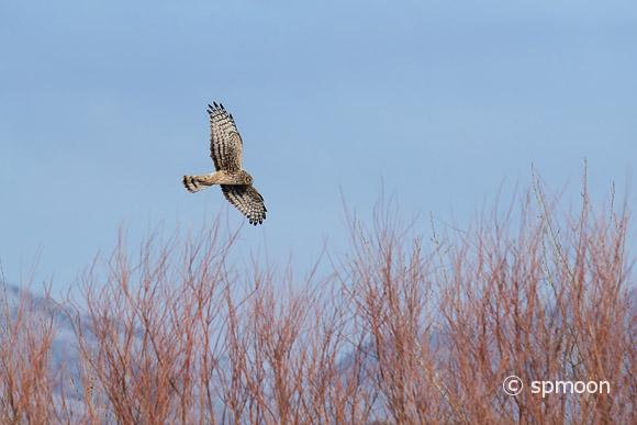 Northern Harrier in flight, looking for prey, Bosque Del Apache National Wildlife Refuge, New Mexico