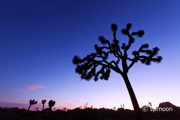 Joshua Trees Silouette in Twilight, Joshua Tree National Park, CA
