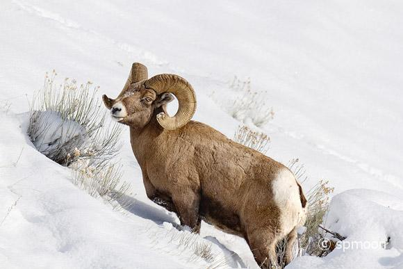 Bighorn sheep on snow covered mountain hillside at Yellowstone National Park.
