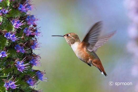 Hummingbird flying to pride of madeira flower