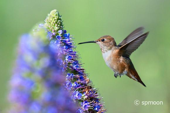 Allen's Hummingbird flying to Pride of Madeira flower