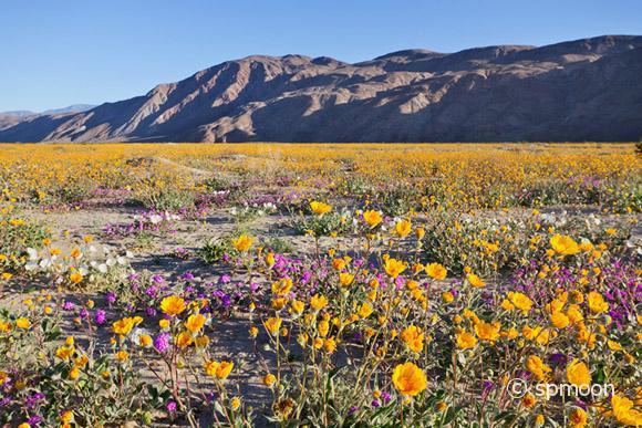 Wildflower blooming in Anza Borrego Desert State Park, California.