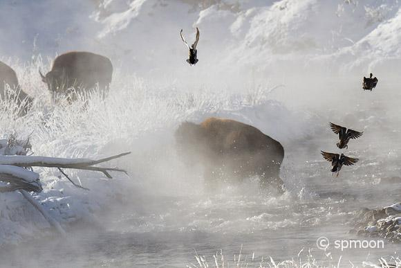 Buffalo crossing steaming river with splash, Yellowstone National Park, MT.