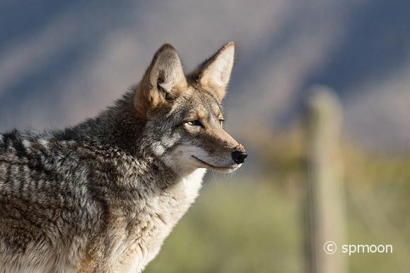 Coyote in desert background