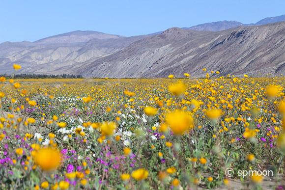 Wildflower blooming in Anza Borrego Desert State Park, California.