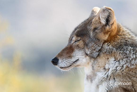 Close up of Resting Coyote