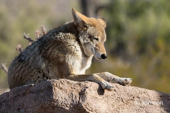 Cyote resting on rock