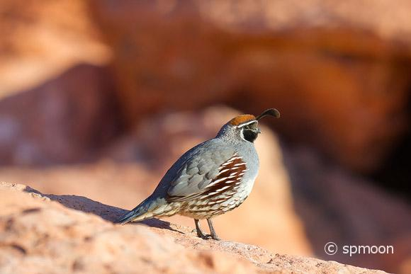 Male Gamlbel's Quail on red rocks, Valley of Fire State Park, Nevada.