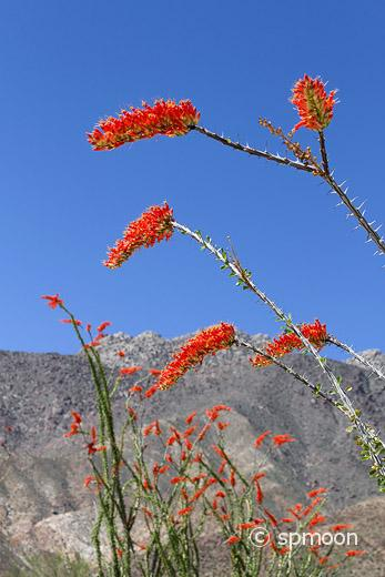 Ocotillo flower in bloom, Anza Borrego Desert State Park, CA