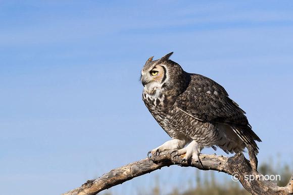 Great Horned Owl in Sonora Desert, Arizona