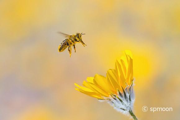 Pollen covered honeybee collecting pollen from desert sunflower