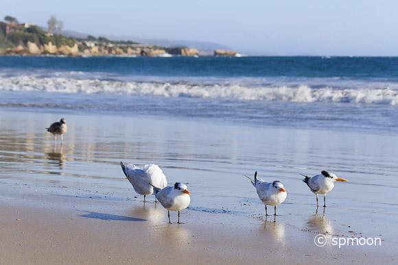 Terns on Corona Del Mar Beach, California