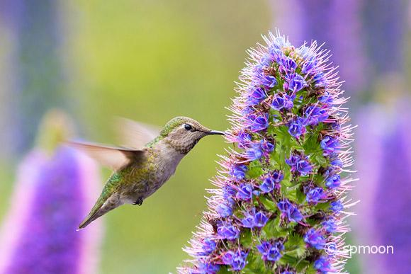 Hummingbird feeding on Pride of Madeira Flowers.
