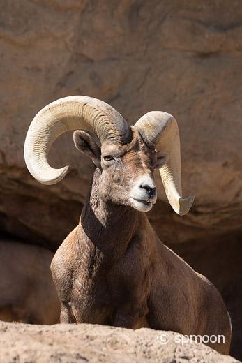 Male desert bighorn sheep on rock in sonora desert, AZ