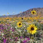 Anza Borrego Desert Wildflower 2015(アンザボレゴ砂漠州立公園)