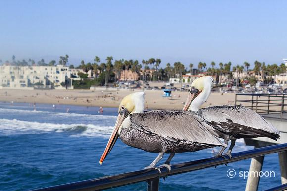 Pelicans looking for fish to catch on Huntington Beach Pier, CA