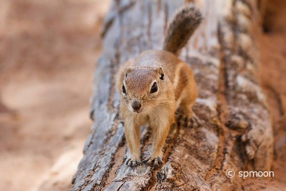 Antelope Squirrel in Canyonlands National Park, UT