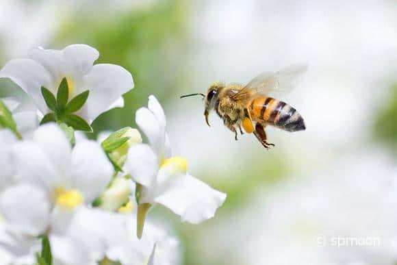 Honeybee flying to white Nemesia flower