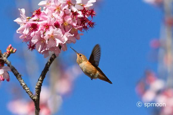 Hummingbird feeding on cherry blossom tree