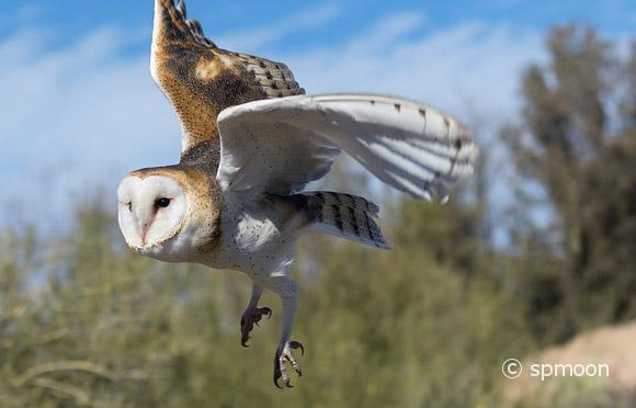Barn owl flying in sonora desert, Arizona