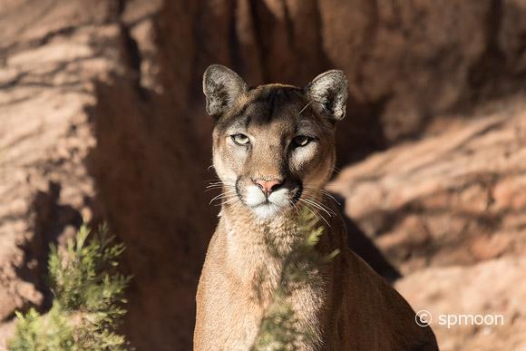 Mountain lion staring in sonora desert, AZ