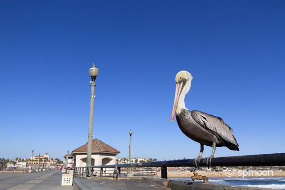 Pelican at Huntington Beach Pier, California