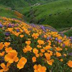 Chino Hills State Park Wildflower 2017(チノヒルズ州立公園のワイルドフラワー)