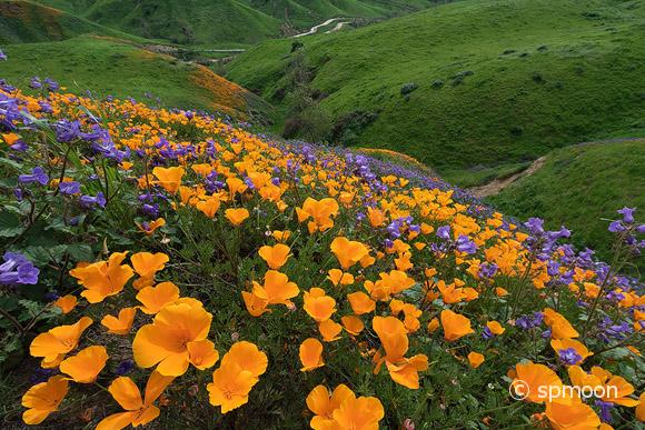 chino hills wildflower 2017 チノヒルズ州立公園のワイルドフラワー