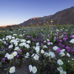 Anza Borrego Desert Wildflower 2017(アンザボレゴ砂漠のワイルドフラワー)