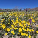 Joshua Tree National Park Wildflower 2017(ジョシュアツリー国立公園のワイルドフラワー)