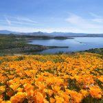 Diamond Valley Lake Wildflower 2017(ダイアモンドバレー湖のワイルドフラワー)