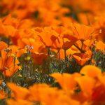 Antelope Valley California Poppy Reserve 2017(アンテロープバレー・カリフォルニアポピー保護区)