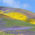 Carrizo Plain Wildflower 2017(カリーゾプレインのカラフルに染まる山々)