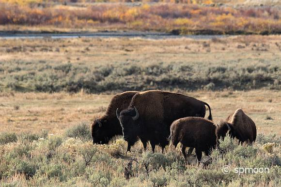 Bison Family in Lamar Valley, Yellowstone National Park