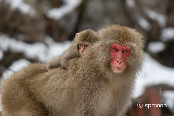 Baby snow monkey on her mothers back, Jigokudani Snow Monkey Park, Japan