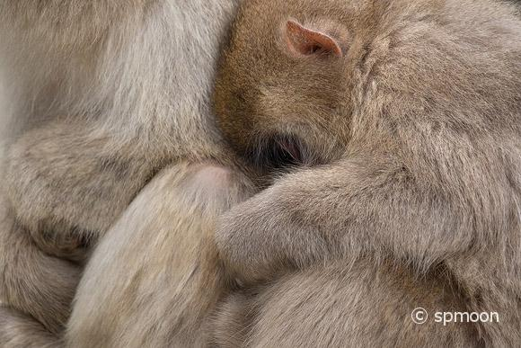 Snow monkey child holding mother