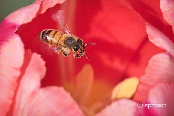 Honeybee collecting pollen from red tulip