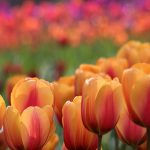 Honeybee and Tulip(ミツバチとチューリップの撮影)