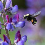 Bumblebee(マルハナバチの撮影)